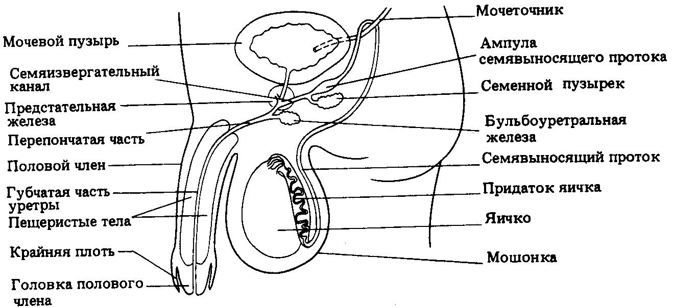 строения влагалища и медиц схема-ач2